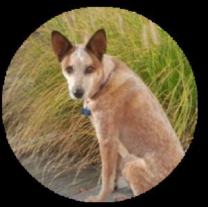 Australian cattle dog,rescue dog